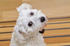 逗人喜爱的空白狗 免版税库存照片