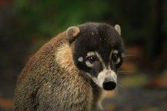 逗人喜爱的空白被引导的浣熊 库存图片