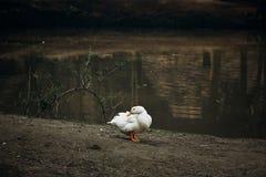 逗人喜爱的空白鸭子 库存图片