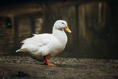 逗人喜爱的空白鸭子 免版税库存图片