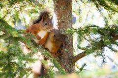 逗人喜爱的红松鼠亲吻特写镜头画象 库存照片