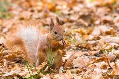 逗人喜爱的红松鼠在脚的拿着坚果 免版税库存照片