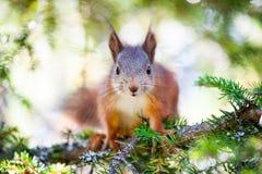 逗人喜爱的红松鼠特写镜头画象 免版税库存照片