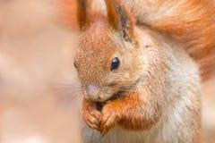 逗人喜爱的红松鼠画象 免版税库存图片