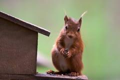 逗人喜爱的红松鼠 免版税库存图片