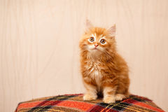逗人喜爱的红色小猫坐格子花呢披肩 图库摄影