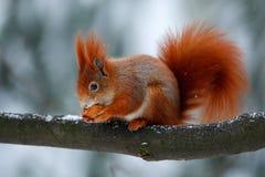 逗人喜爱的红色橙色灰鼠吃在冬天场面的一枚坚果与雪 免版税库存图片
