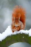 逗人喜爱的红色橙色灰鼠吃在冬天场面的一枚坚果与雪 免版税库存照片