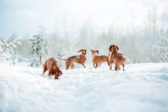 逗人喜爱的红色狗visla坐在雪的,画象 免版税库存照片