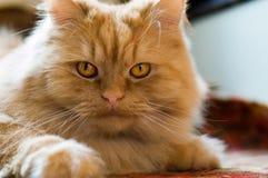 逗人喜爱的红色猫脸大位于在楼层上 免版税库存照片