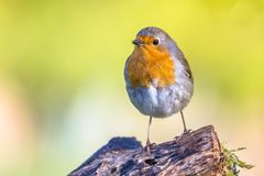 逗人喜爱的红色知更鸟生动的色的背景 库存照片