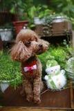 逗人喜爱的红色长卷毛狗 免版税图库摄影