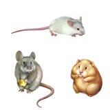 逗人喜爱的红色仓鼠开会,吃片断的家鼠 库存图片