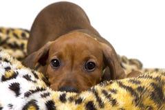 逗人喜爱的纯血统德国短毛猎犬小狗 免版税库存照片