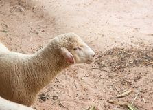逗人喜爱的绵羊特写镜头画象在地面的 免版税库存图片
