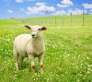 逗人喜爱的绵羊年轻人 免版税库存图片