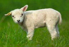逗人喜爱的绵羊 免版税图库摄影