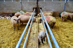 逗人喜爱的羊羔和绵羊在农场 免版税库存图片