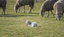 逗人喜爱的羊羔在夏天10 免版税库存照片