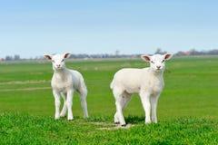 逗人喜爱的羊羔春天 库存图片
