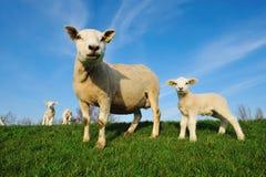 逗人喜爱的羊羔春天 免版税库存照片