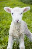 逗人喜爱的羊羔