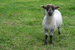 逗人喜爱的羊羔 免版税库存照片