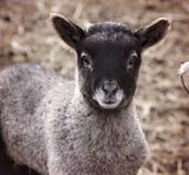 逗人喜爱的羊羔 库存图片