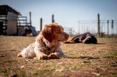 逗人喜爱的美好的狗猎犬谎言和看起来去,在背景中狗睡觉 免版税库存照片