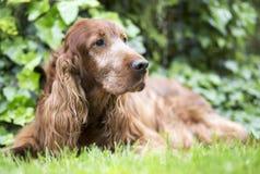 逗人喜爱的老爱尔兰人的特定装置狗 免版税库存图片