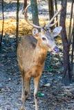 逗人喜爱的肉猪鹿或者鹿porcinus或者轴porcinus公开 免版税库存图片