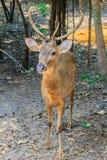 逗人喜爱的肉猪鹿或者鹿porcinus或者轴porcinus公开 库存照片