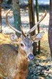 逗人喜爱的肉猪鹿或者鹿porcinus或者轴porcinus公开 库存图片