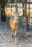 逗人喜爱的肉猪鹿或者鹿porcinus或者轴porcinus公开 免版税库存照片
