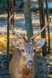 逗人喜爱的肉猪鹿或者鹿porcinus或者轴porcinus公开 图库摄影