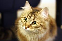 逗人喜爱的芬兰小猫 库存图片