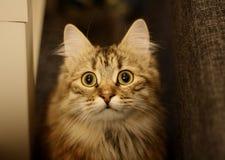 逗人喜爱的芬兰小猫 免版税库存图片