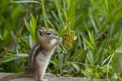 逗人喜爱的花栗鼠一点 库存照片