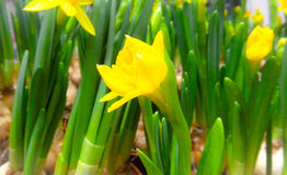 逗人喜爱的花 黄色Narcis 库存照片