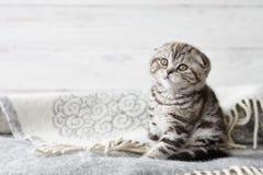 逗人喜爱的苏格兰人折叠小猫开会 库存照片