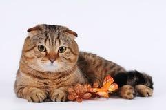逗人喜爱的苏格兰人折叠猫 免版税库存照片