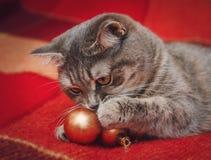逗人喜爱的苏格兰猫使用与圣诞节球 图库摄影