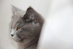 逗人喜爱的英国猫 免版税库存照片