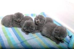 逗人喜爱的英国Shorthair小猫 库存图片