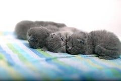 逗人喜爱的英国Shorthair小猫 免版税图库摄影