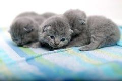 逗人喜爱的英国Shorthair小猫 图库摄影
