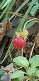 逗人喜爱的莓果 免版税库存图片