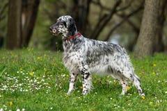 逗人喜爱的蓝色belton英国塞特种猎狗狗在春天开花的草甸 免版税库存照片