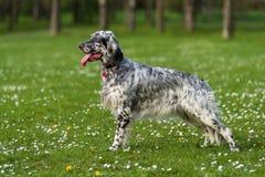 逗人喜爱的蓝色belton英国塞特种猎狗狗在春天开花的草甸 库存照片