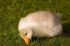逗人喜爱的蓬松幼鹅 免版税库存图片